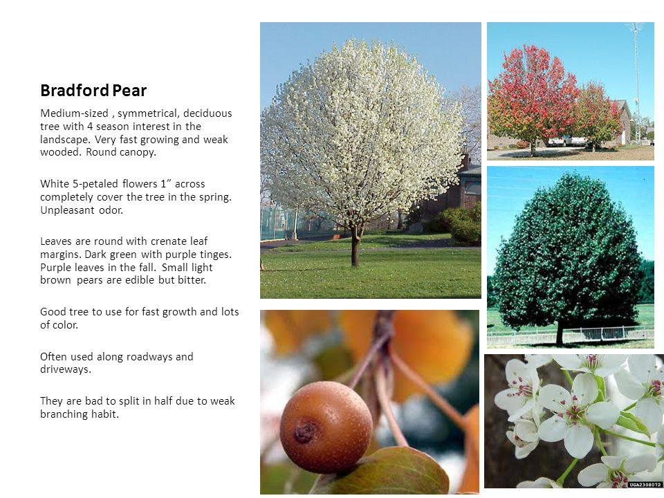 Bradford Pear Medium-sized , symmetrical, deciduous tree with 4 season interest in the landscape. Very fast growing and weak wooded. Round canopy.