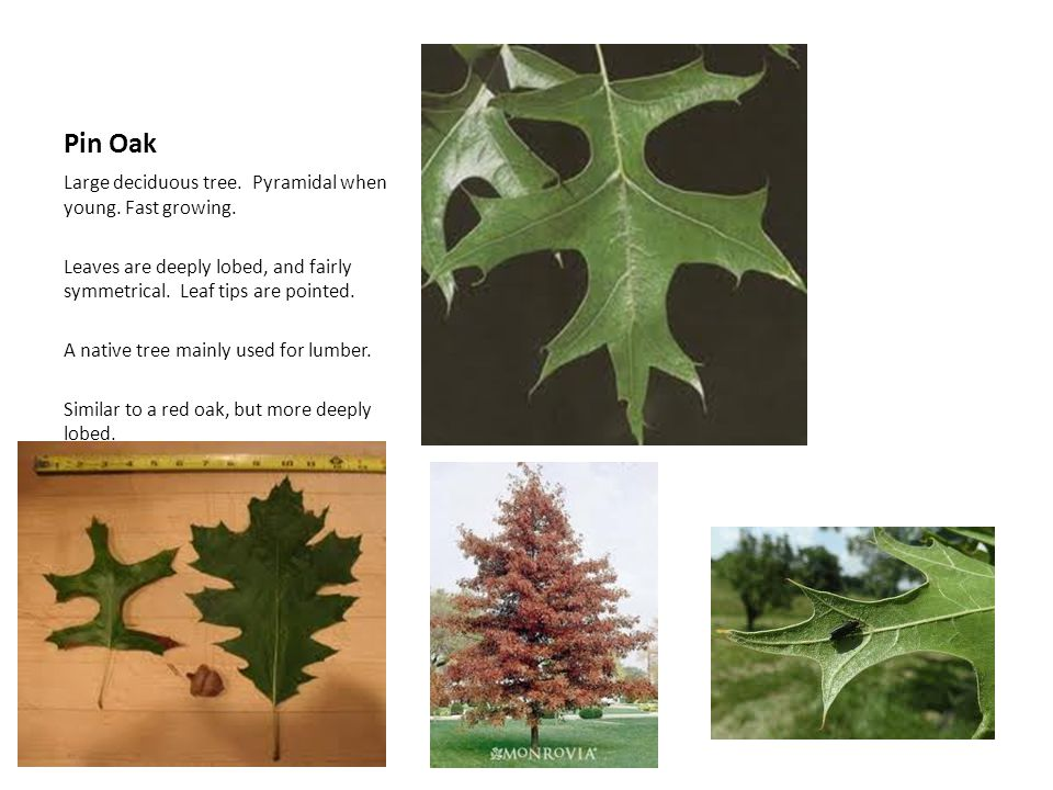 Pin Oak Large deciduous tree. Pyramidal when young. Fast growing.