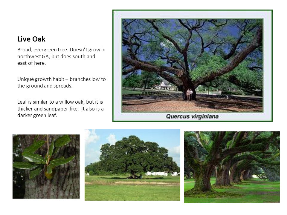 Live Oak Broad, evergreen tree. Doesn't grow in northwest GA, but does south and east of here.