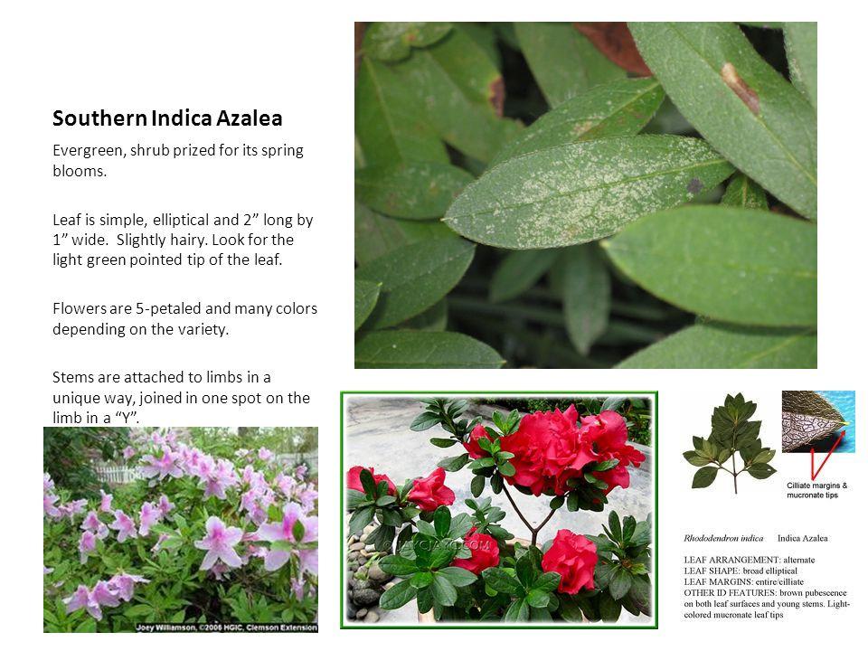 Southern Indica Azalea