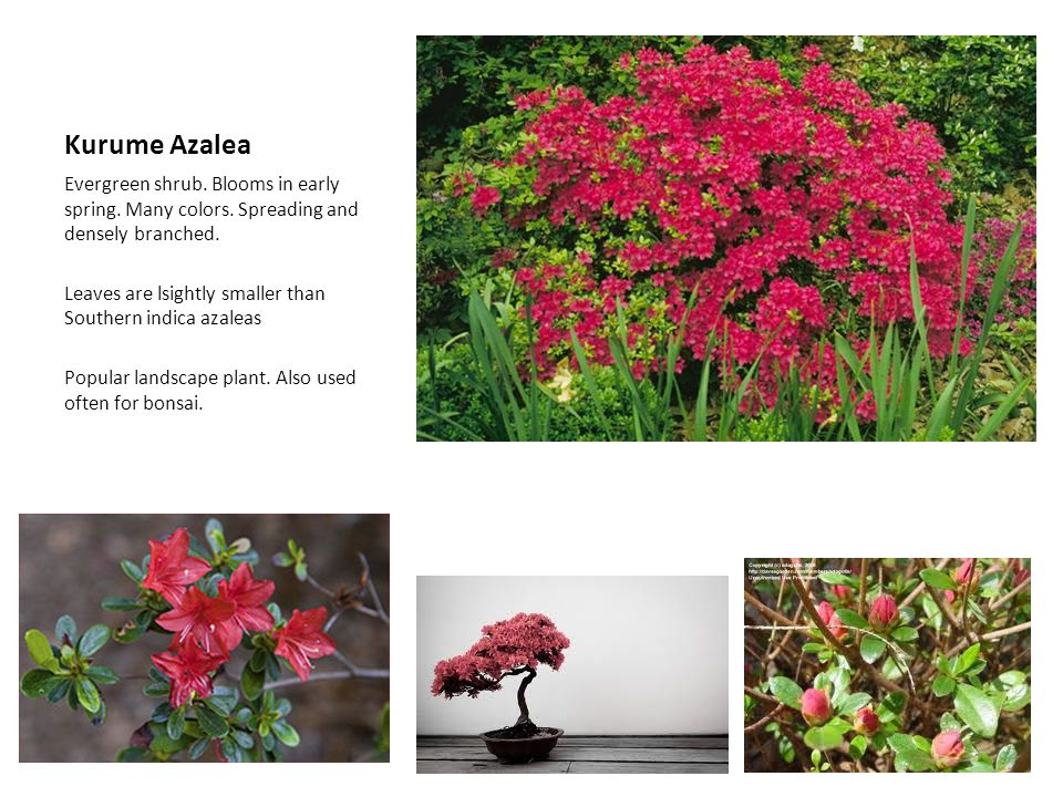 Kurume Azalea Evergreen shrub. Blooms in early spring. Many colors. Spreading and densely branched.