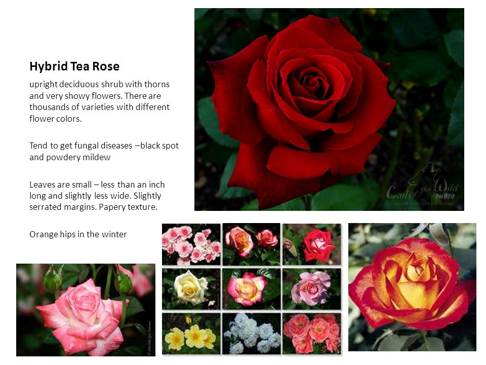 Hybrid Tea Rose upright deciduous shrub with thorns and very showy flowers. There are thousands of varieties with different flower colors.