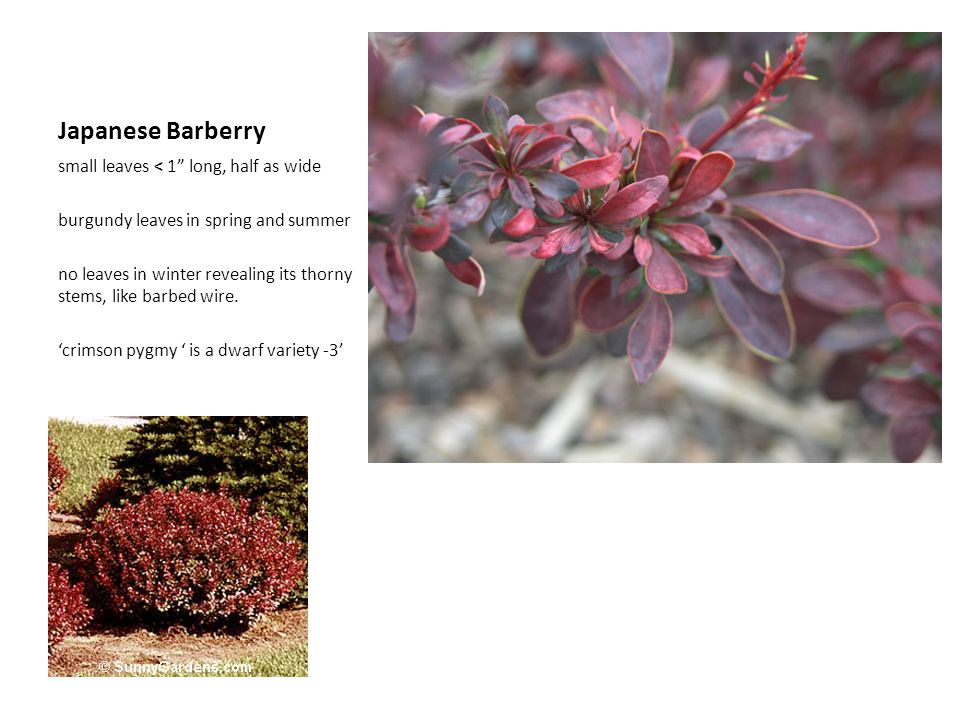 Japanese Barberry small leaves < 1 long, half as wide