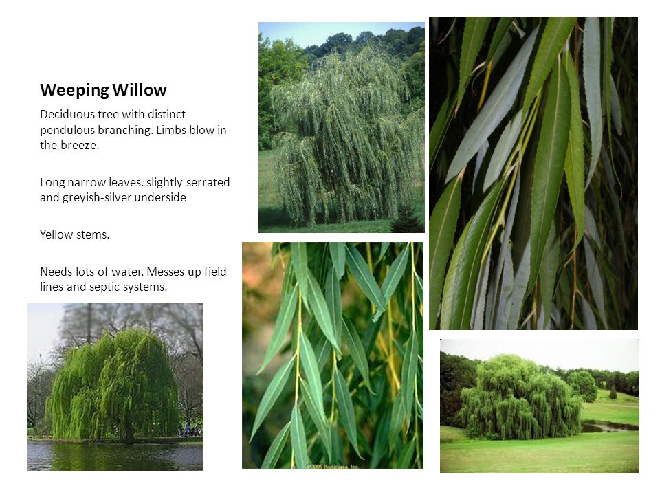 Weeping Willow Deciduous tree with distinct pendulous branching. Limbs blow in the breeze.