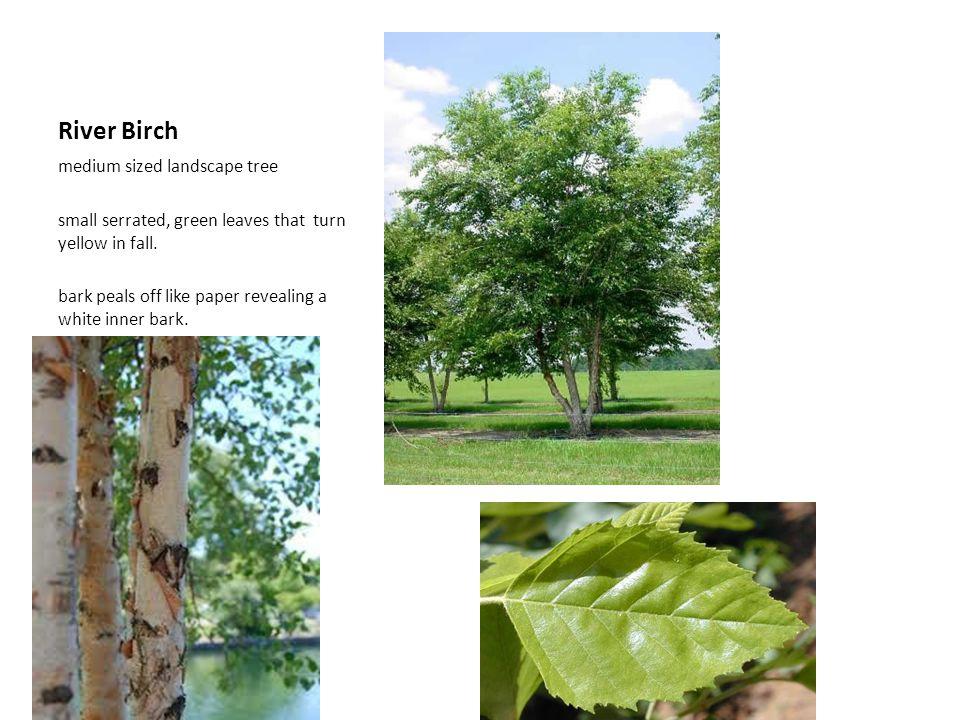 River Birch medium sized landscape tree