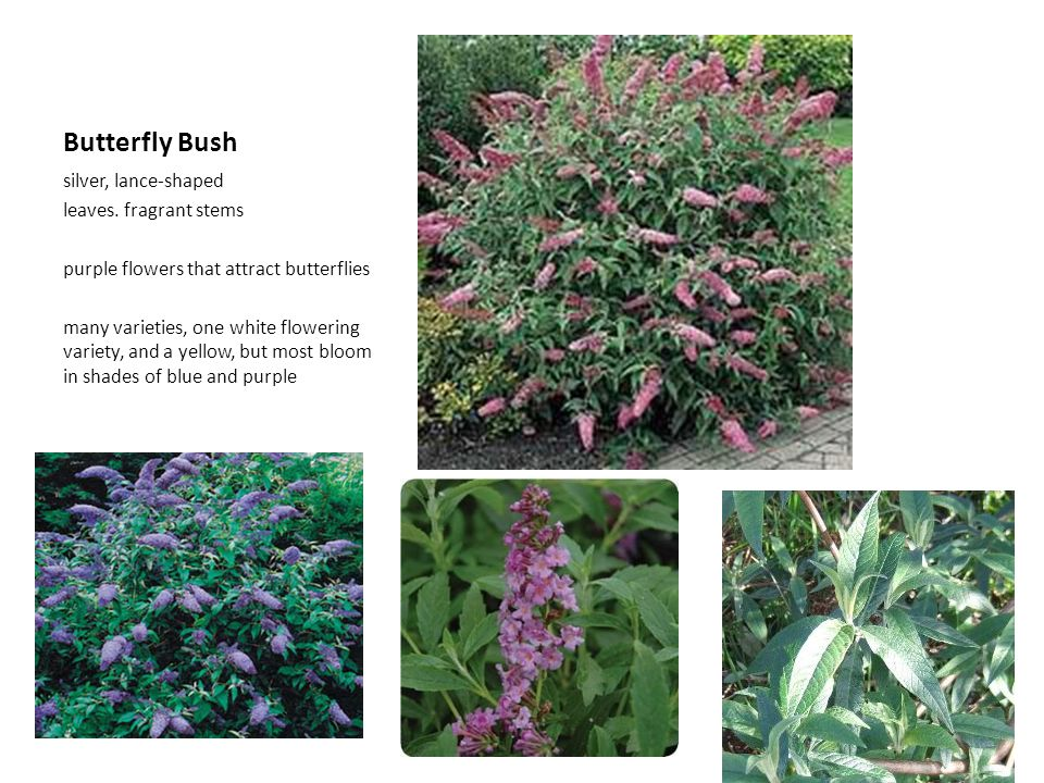 Butterfly Bush silver, lance-shaped leaves. fragrant stems