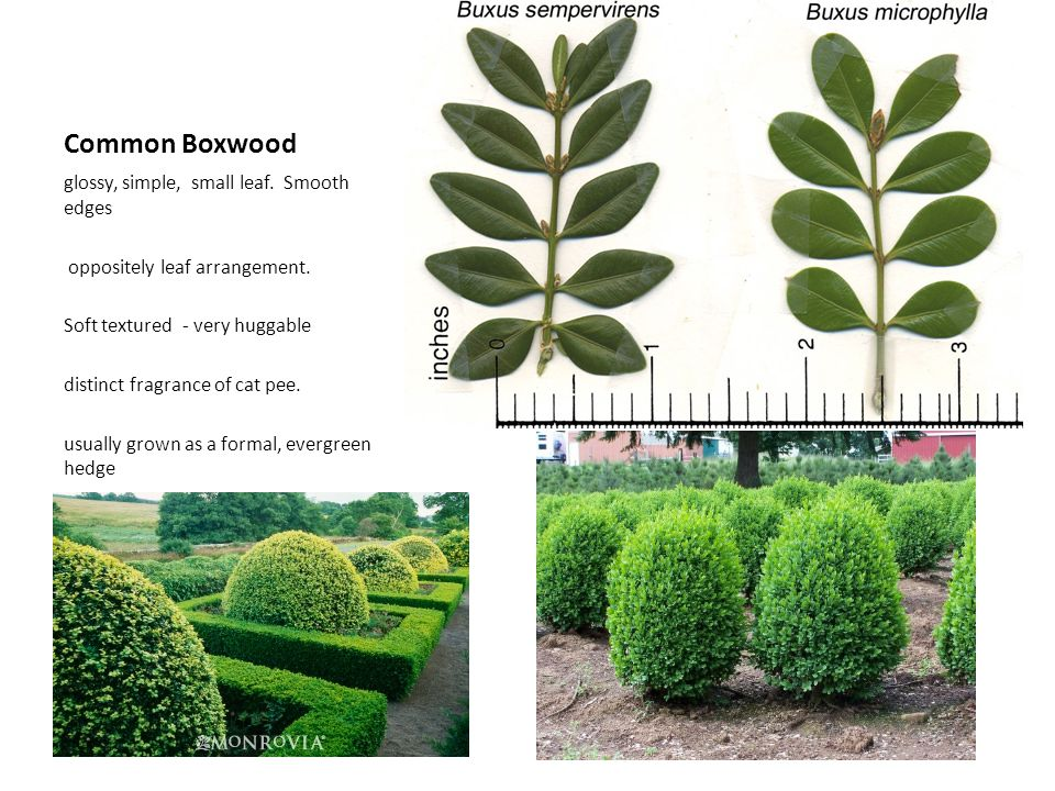 Common Boxwood glossy, simple, small leaf. Smooth edges