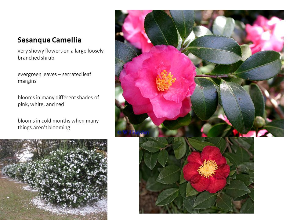 Sasanqua Camellia very showy flowers on a large loosely branched shrub