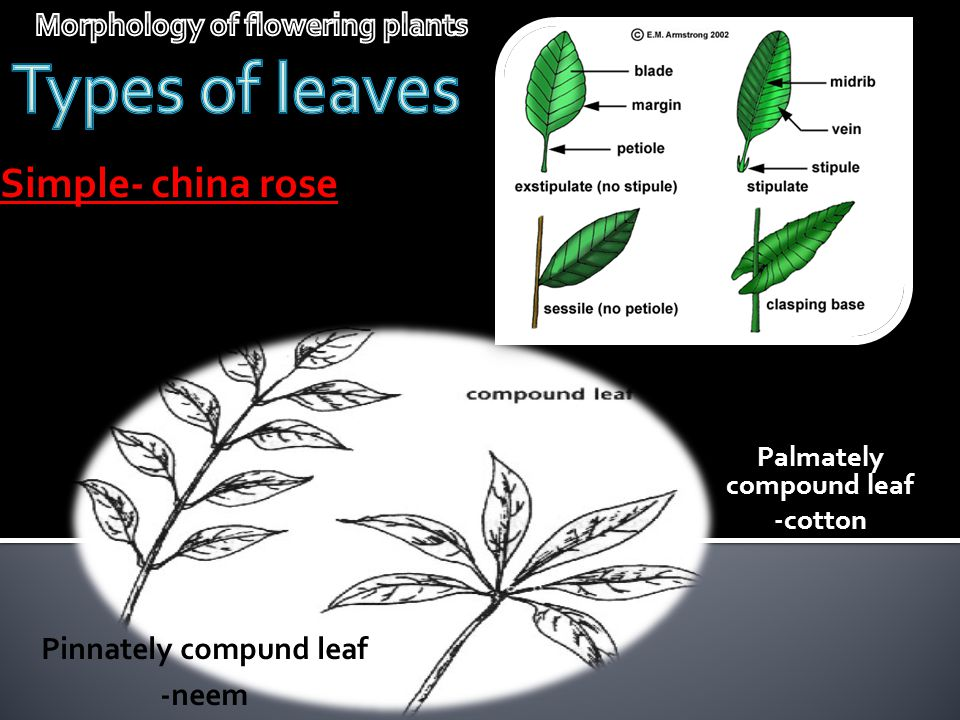 Types of leaves Simple- china rose Morphology of flowering plants