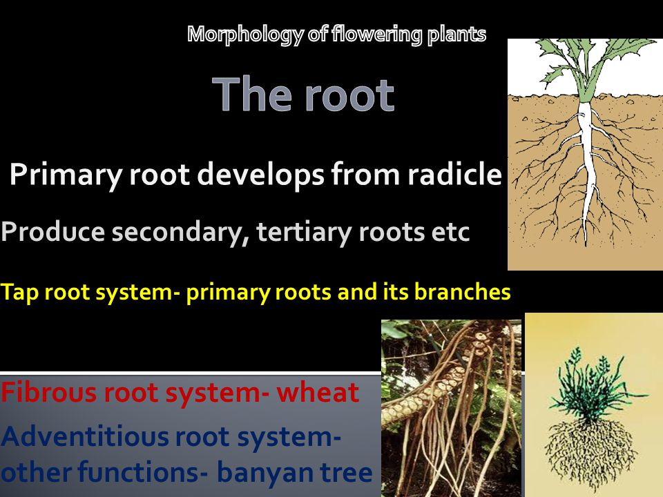 Primary root develops from radicle
