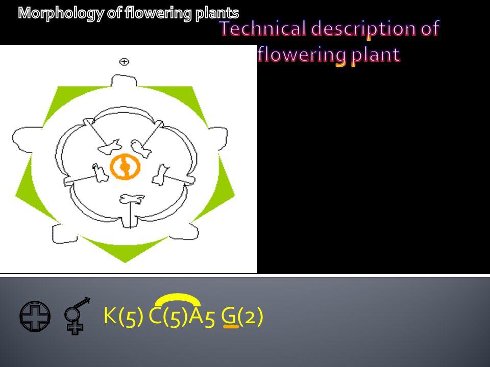 K(5) C(5)A5 G(2) Technical description of flowering plant