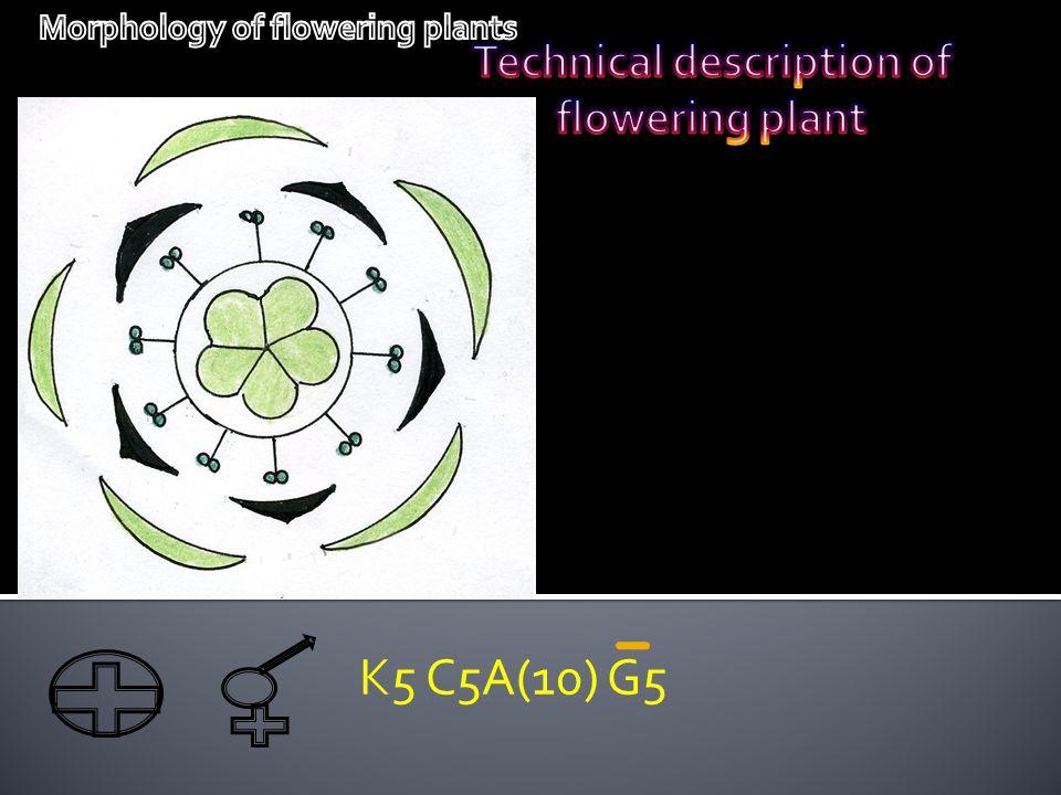 K5 C5A(10) G5 Technical description of flowering plant