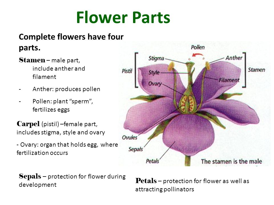 Flower Parts Complete flowers have four parts.