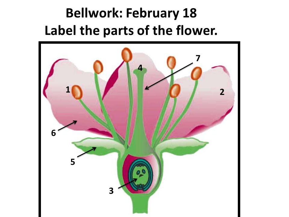 Bellwork: February 18 Label the parts of the flower.