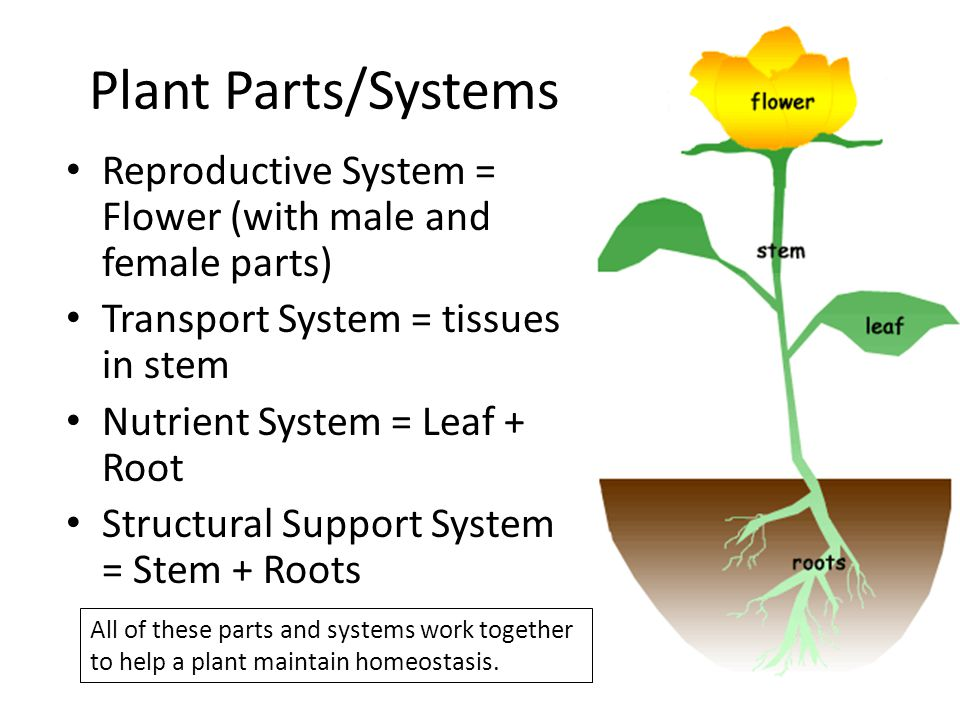 Plant Parts/Systems Reproductive System = Flower (with male and female parts) Transport System = tissues in stem.