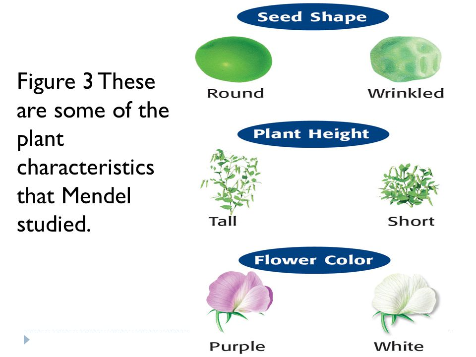 Figure 3 These are some of the plant characteristics that Mendel studied.