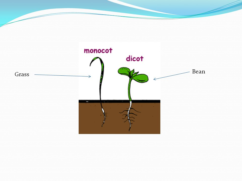 Bean Grass
