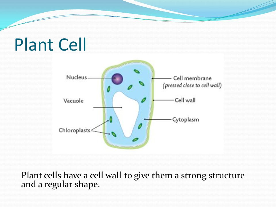 Plant Cell Plant cells have a cell wall to give them a strong structure and a regular shape.