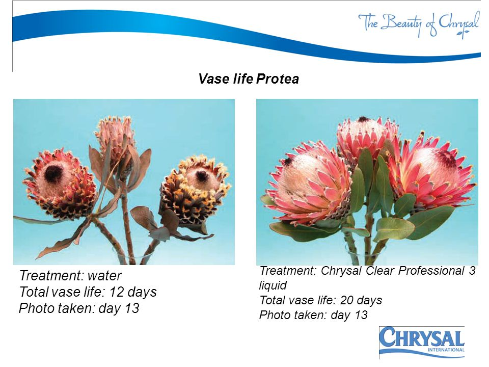 Vase life Protea Treatment: water Total vase life: 12 days