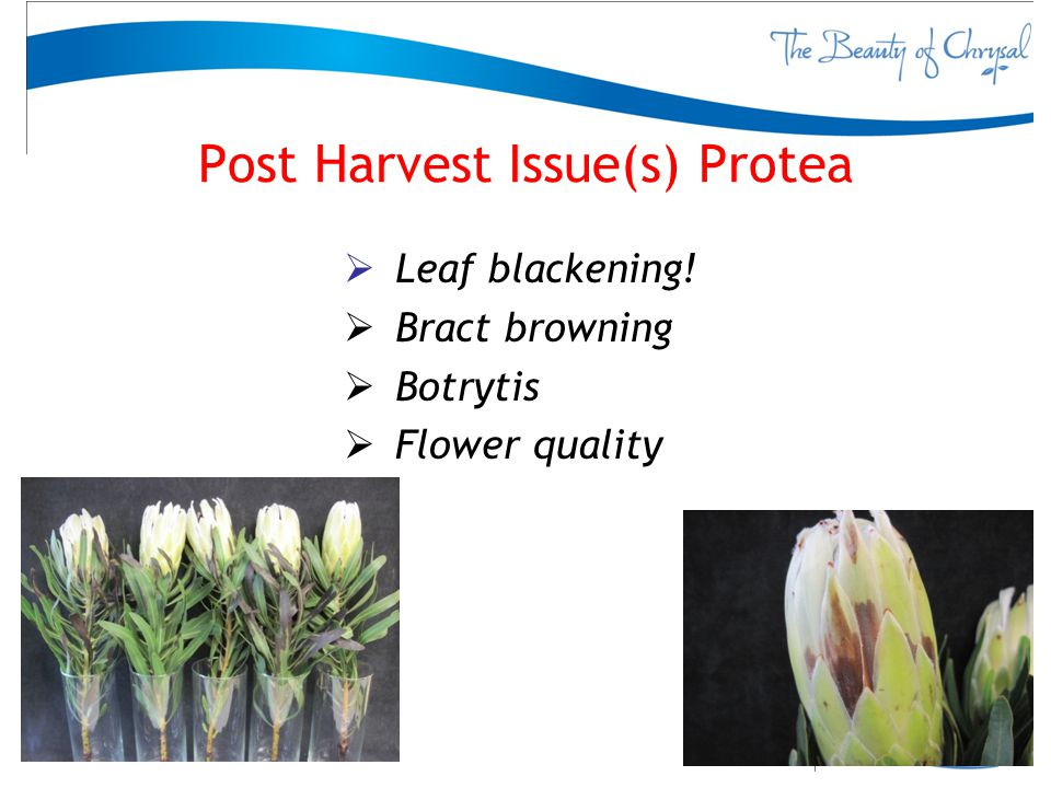 Post Harvest Issue(s) Protea