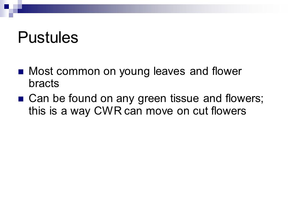 Pustules Most common on young leaves and flower bracts