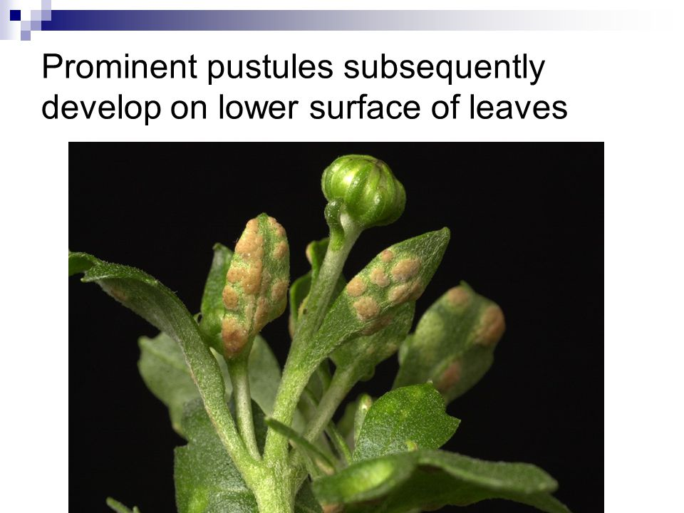 Prominent pustules subsequently develop on lower surface of leaves