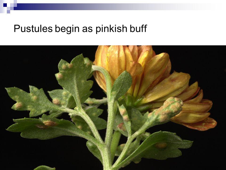 Pustules begin as pinkish buff