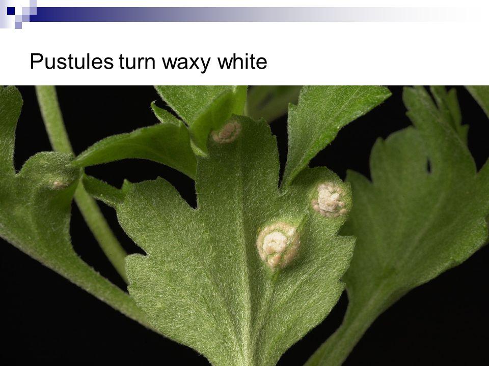 Pustules turn waxy white