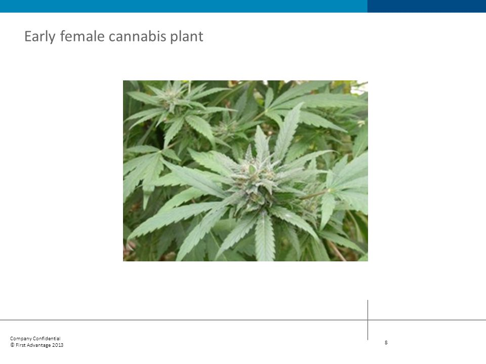 Early female cannabis plant