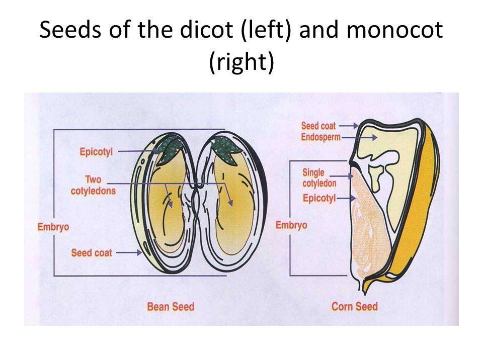Seeds of the dicot (left) and monocot (right)