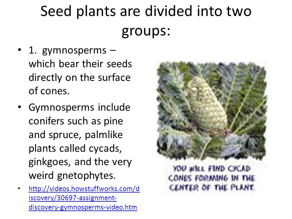 Seed plants are divided into two groups: