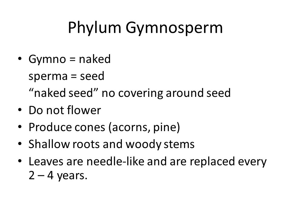 Phylum Gymnosperm Gymno = naked sperma = seed