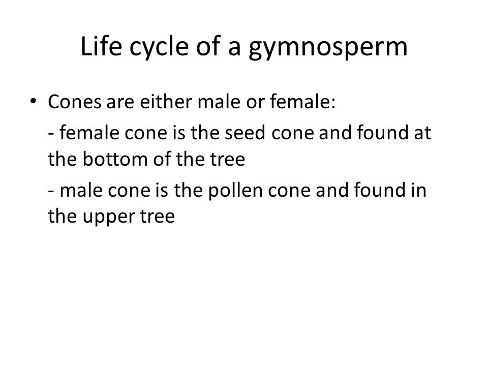 Life cycle of a gymnosperm
