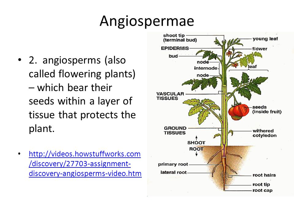 Angiospermae 2. angiosperms (also called flowering plants) – which bear their seeds within a layer of tissue that protects the plant.