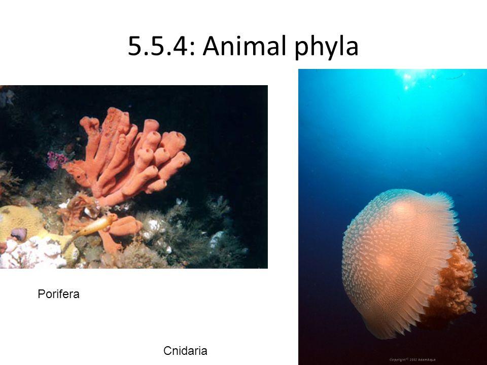 5.5.4: Animal phyla Porifera Cnidaria