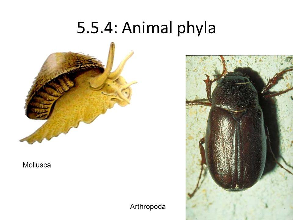 5.5.4: Animal phyla Mollusca Arthropoda