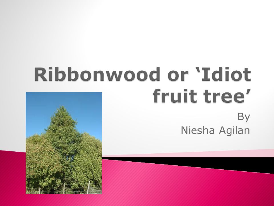 Ribbonwood or 'Idiot fruit tree'