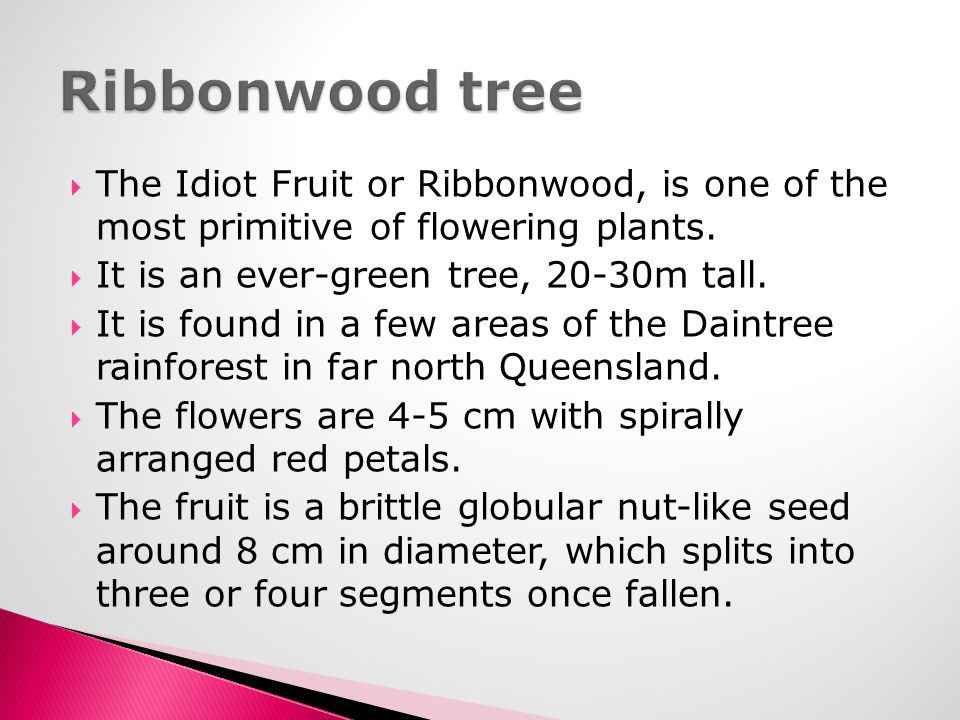 Ribbonwood tree The Idiot Fruit or Ribbonwood, is one of the most primitive of flowering plants. It is an ever-green tree, 20-30m tall.