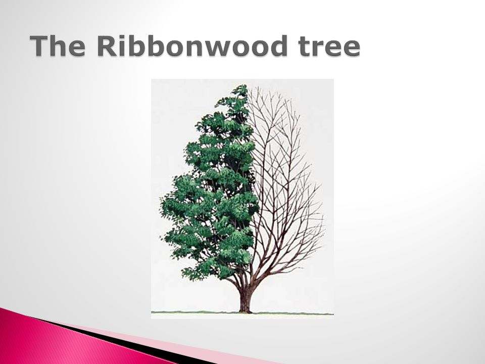 The Ribbonwood tree