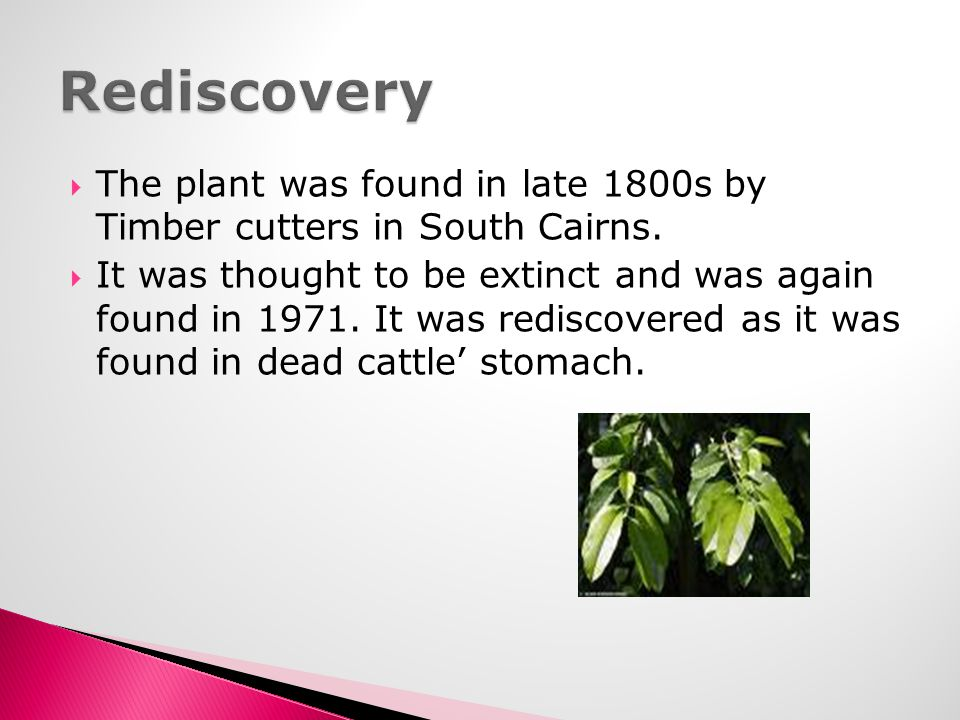 Rediscovery The plant was found in late 1800s by Timber cutters in South Cairns.