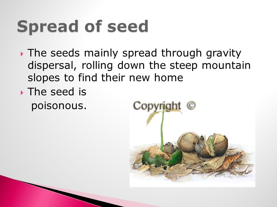 Spread of seed The seeds mainly spread through gravity dispersal, rolling down the steep mountain slopes to find their new home.
