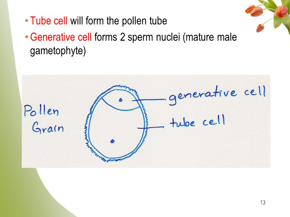 Tube cell will form the pollen tube