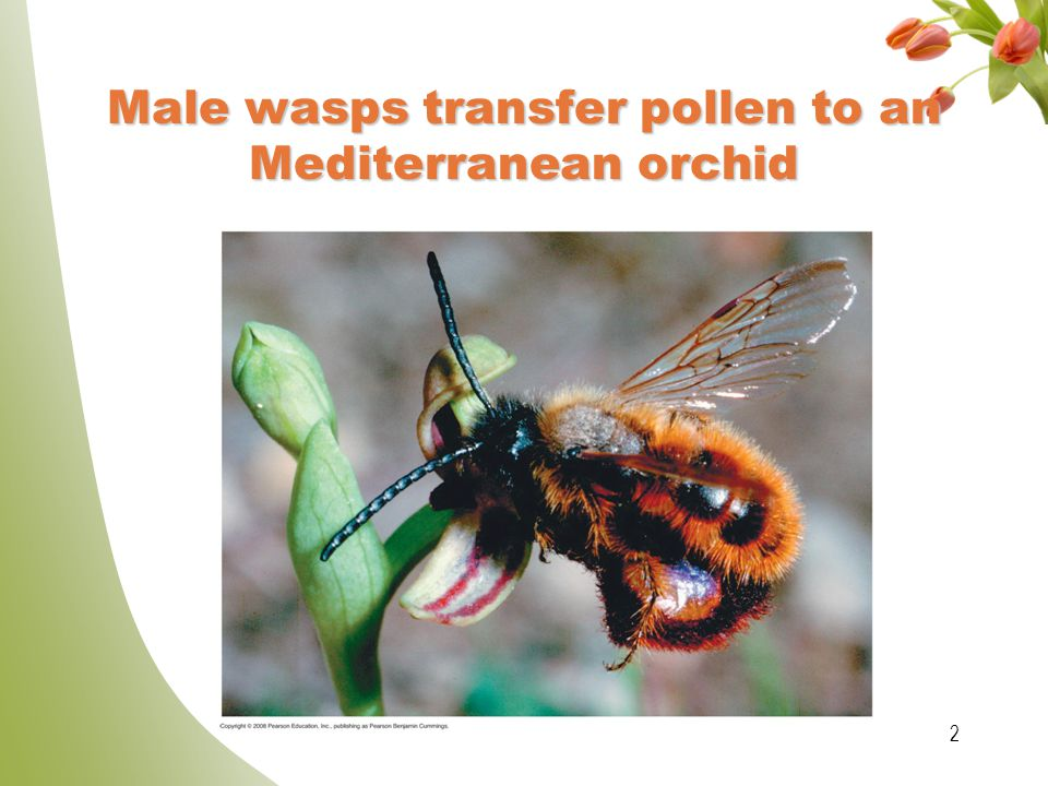 Male wasps transfer pollen to an Mediterranean orchid