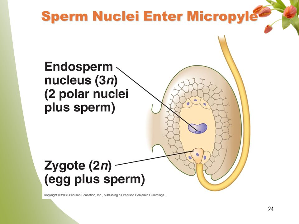 Sperm Nuclei Enter Micropyle