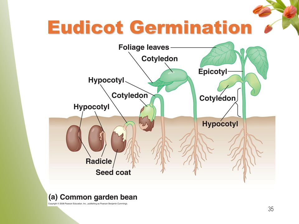 Eudicot Germination