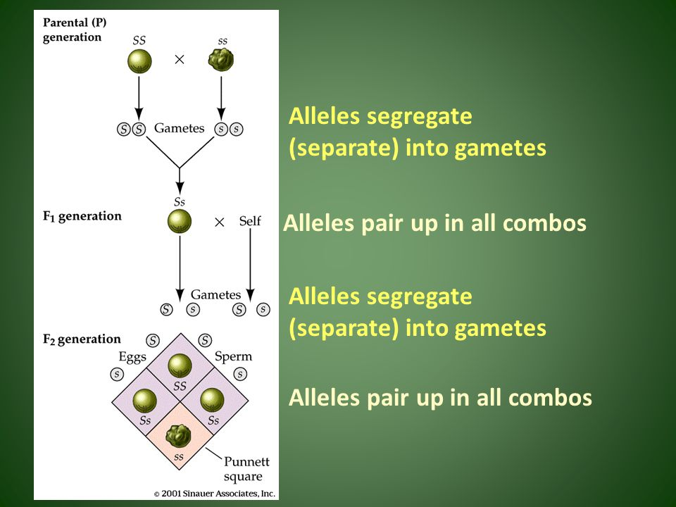 Alleles segregate (separate) into gametes