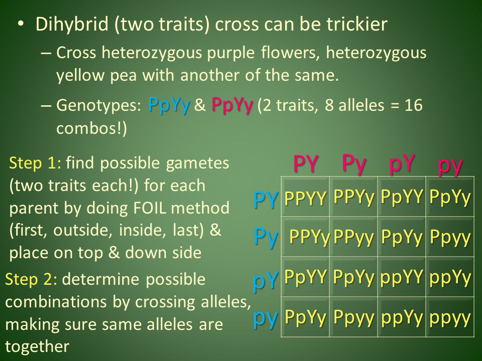 PY Py pY py PY Py pY py Dihybrid (two traits) cross can be trickier