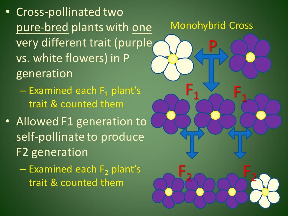 Cross-pollinated two pure-bred plants with one very different trait (purple vs. white flowers) in P generation