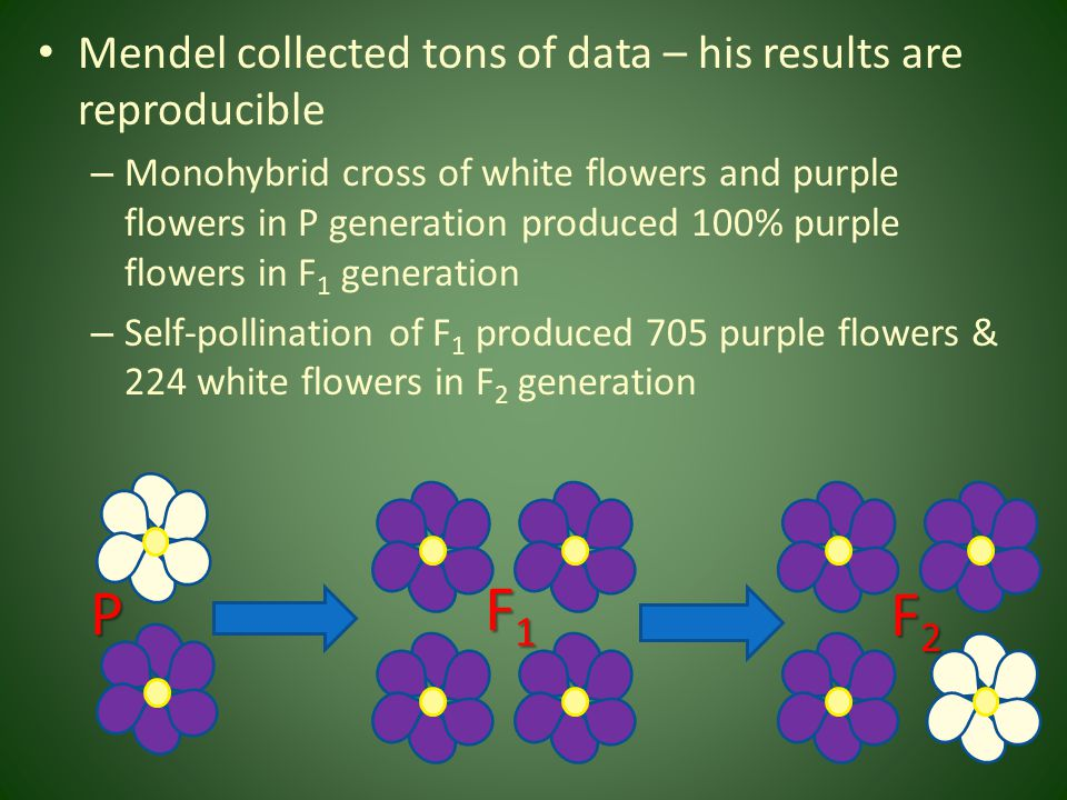 F1 P F2 Mendel collected tons of data – his results are reproducible