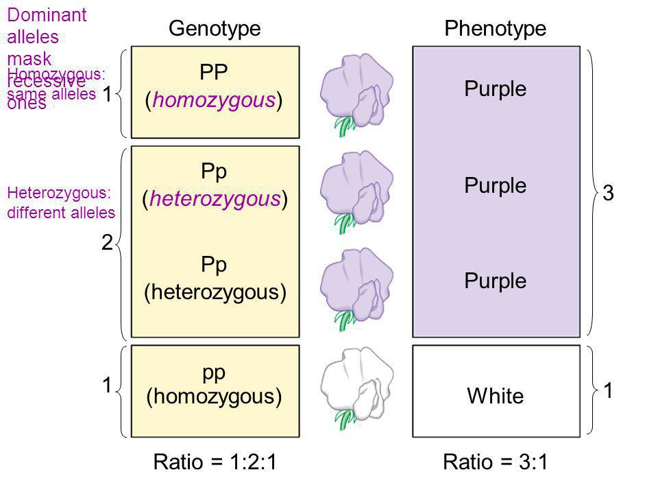 Genotype Phenotype PP Purple 1 (homozygous) Pp Purple 3 (heterozygous)